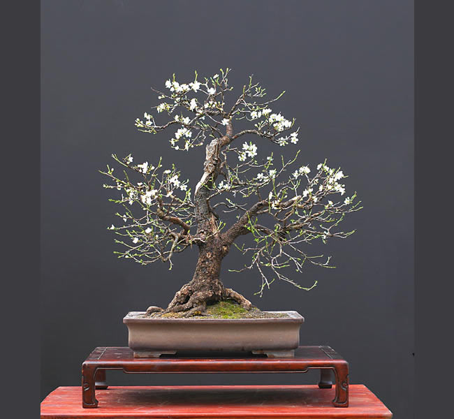 Bonsai Photo Of The Day 4/6/2017