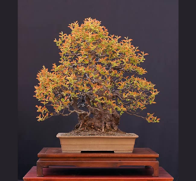 Bonsai Photo Of The Day 4/7/2017