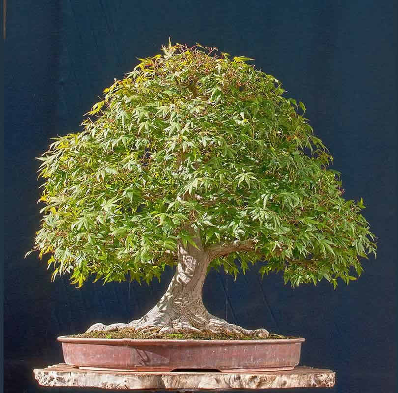 Bonsai Photo Of The Day 5/11/2017