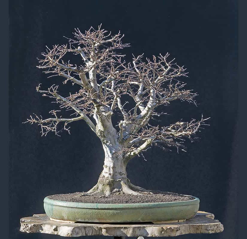Bonsai Photo Of The Day 5/15/2017