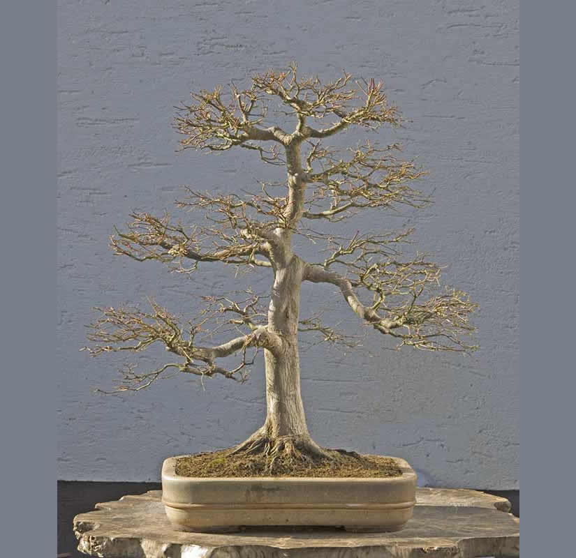 Bonsai Photo Of The Day 5/17/2017