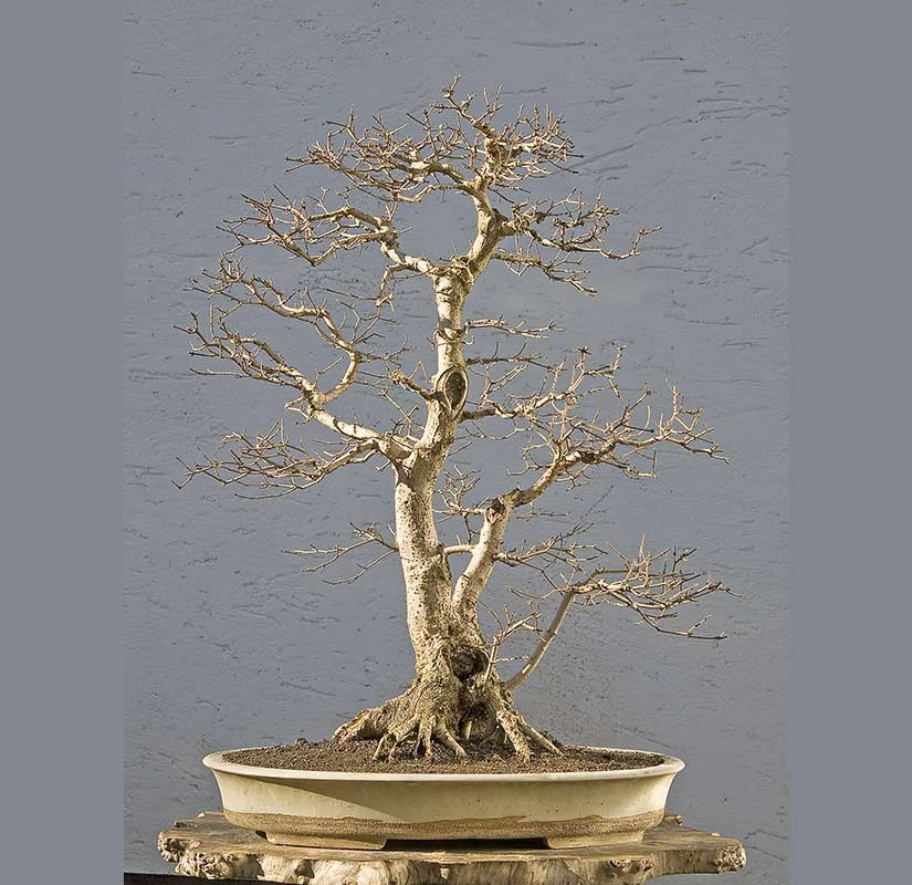 Bonsai Photo Of The Day 5/18/2017