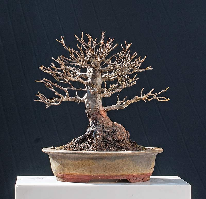 Bonsai Photo Of The Day 5/24/2017