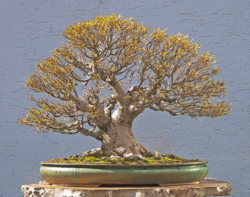 Bonsai Photo Of The Day 5/25/2017