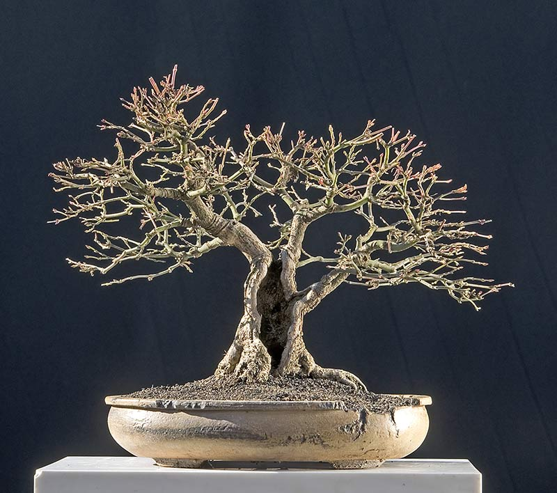 Bonsai Photo Of The Day 5/31/2017