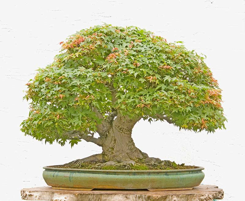 Bonsai Photo Of The Day 5/2/2017