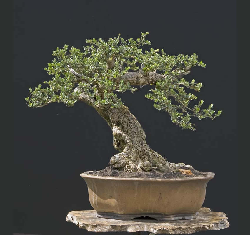 Bonsai Photo Of The Day 5/5/2017