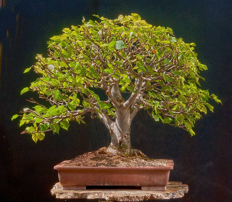 Bonsai Photo Of The Day 5/4/2017