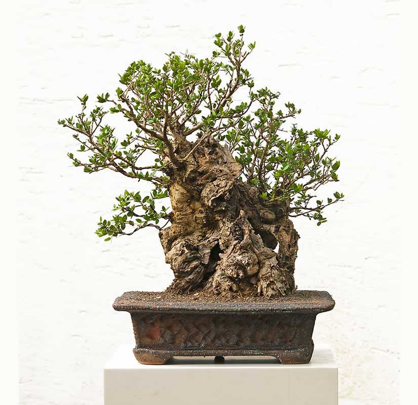 Bonsai Photo Of The Day 6/12/2017