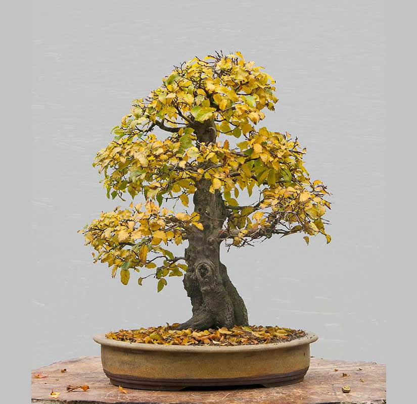 Bonsai Photo Of The Day 6/14/2017