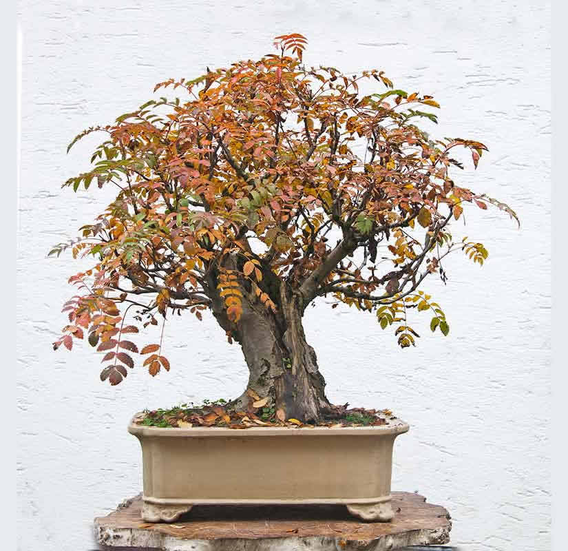 Bonsai Photo Of The Day 6/15/2017