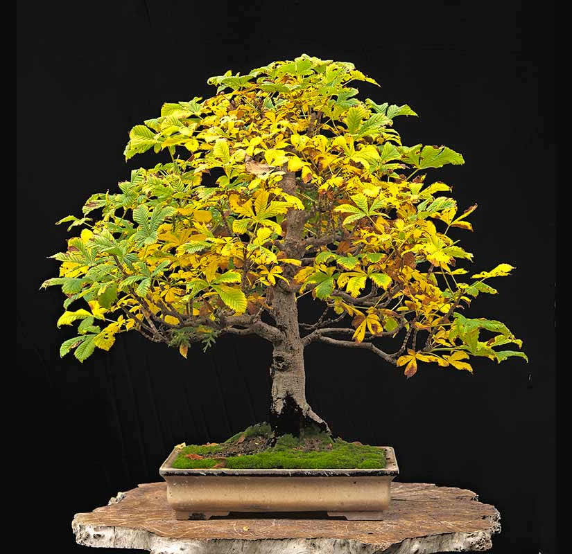 Bonsai Photo Of The Day 6/19/2017
