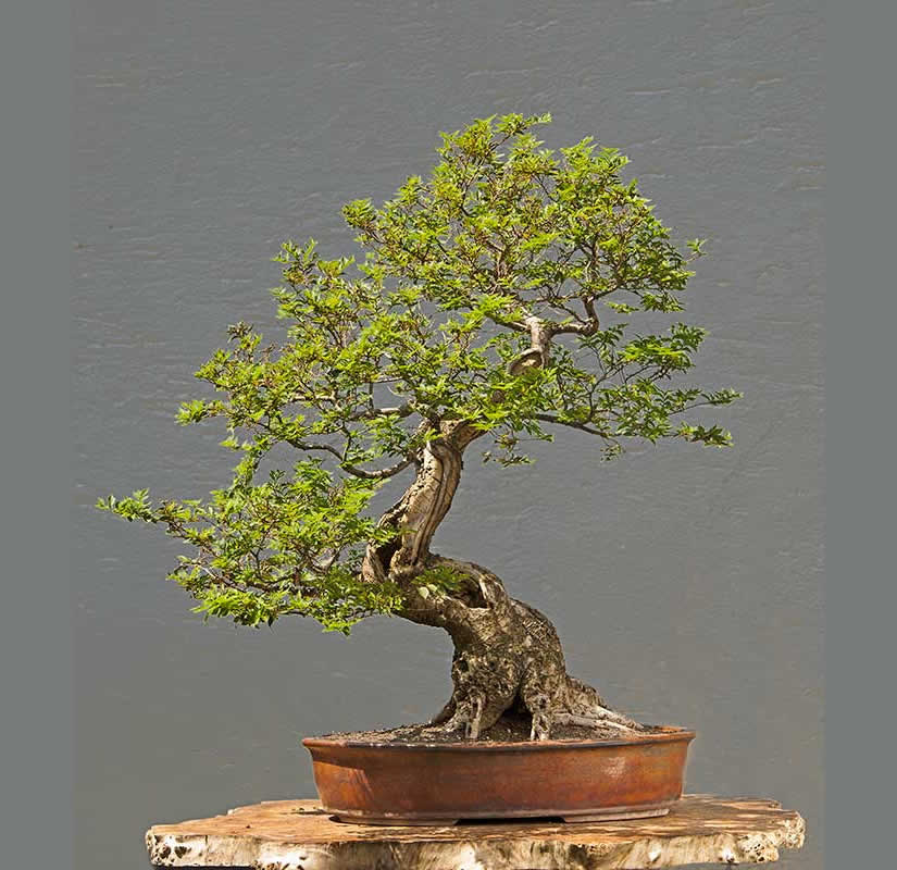 Bonsai Photo Of The Day 6/21/2017