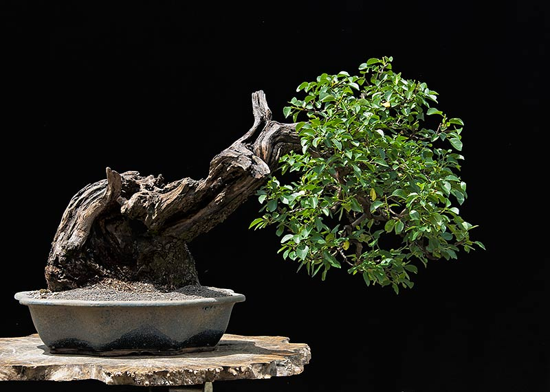 Bonsai Photo Of The Day 6/22/2017