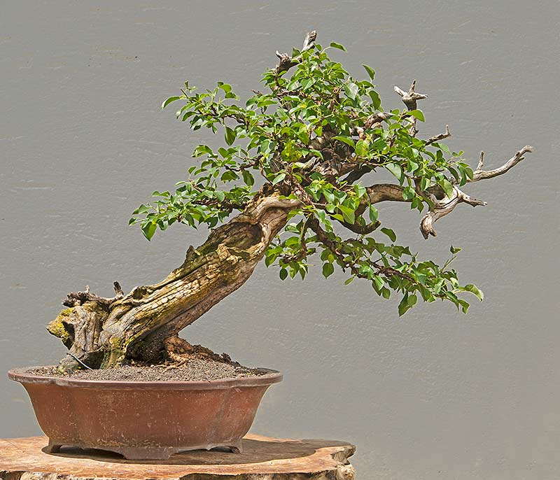 Bonsai Photo Of The Day 6/23/2017