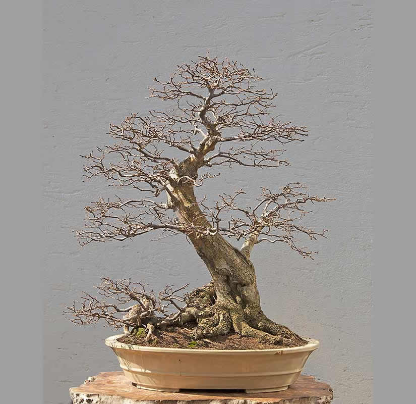 Bonsai Photo Of The Day 6/27/2017