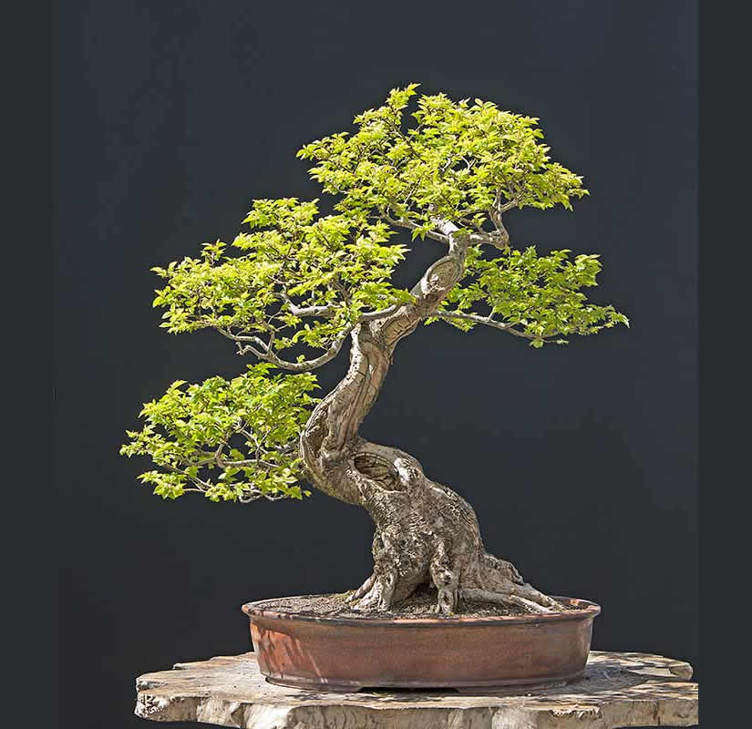 Bonsai Photo Of The Day 6/28/2017