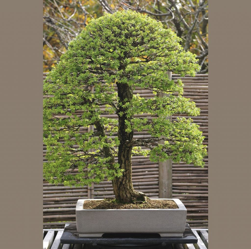 Bonsai Photo Of The Day 6/7/2017