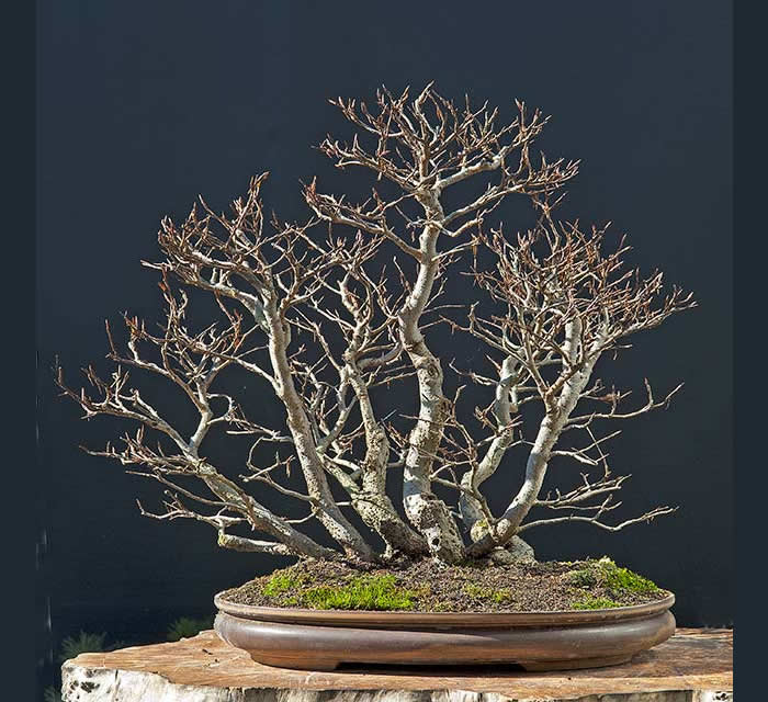 Bonsai Photo Of The Day 6/6/2017