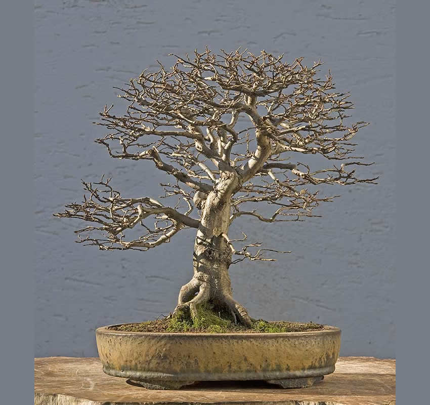 Bonsai Photo Of The Day 6/1/2017