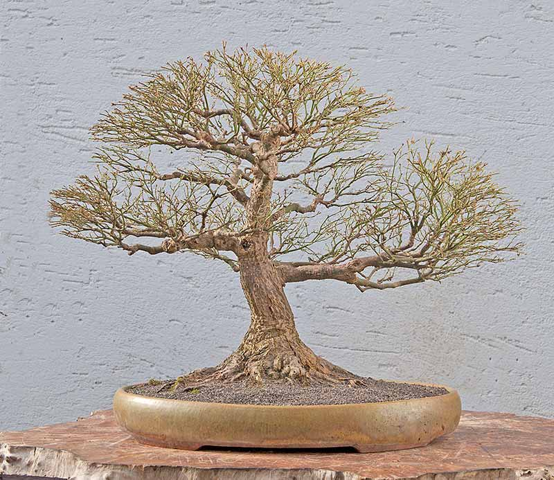 Bonsai Photo Of The Day 6/2/2017