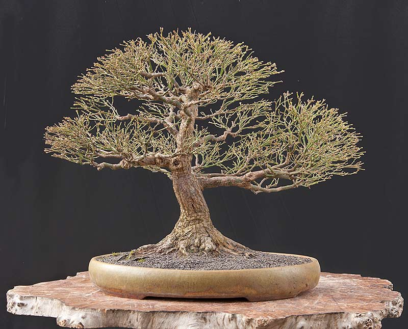 Bonsai Photo Of The Day 6/5/2017