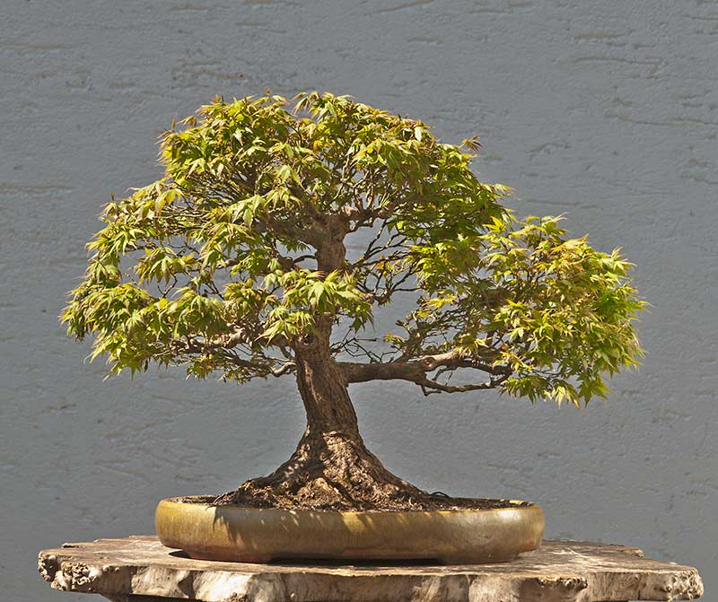 Bonsai Photo Of The Day 7/10/2017