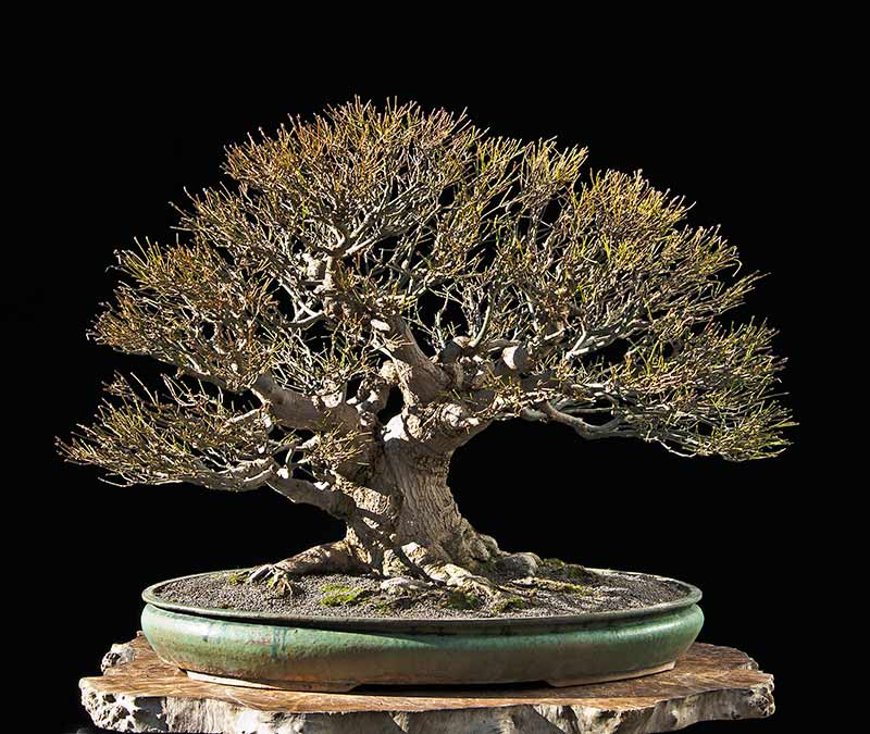 Bonsai Photo Of The Day 7/13/2017