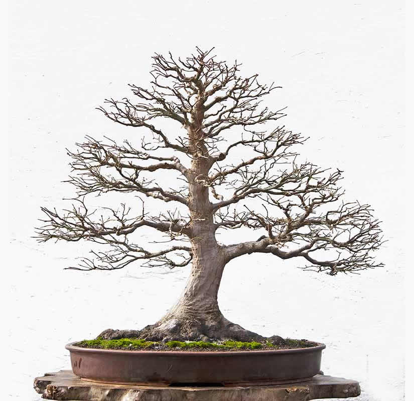 Bonsai Photo Of The Day 7/14/2017