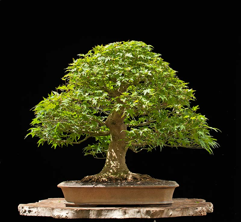 Bonsai Photo Of The Day 7/19/2017