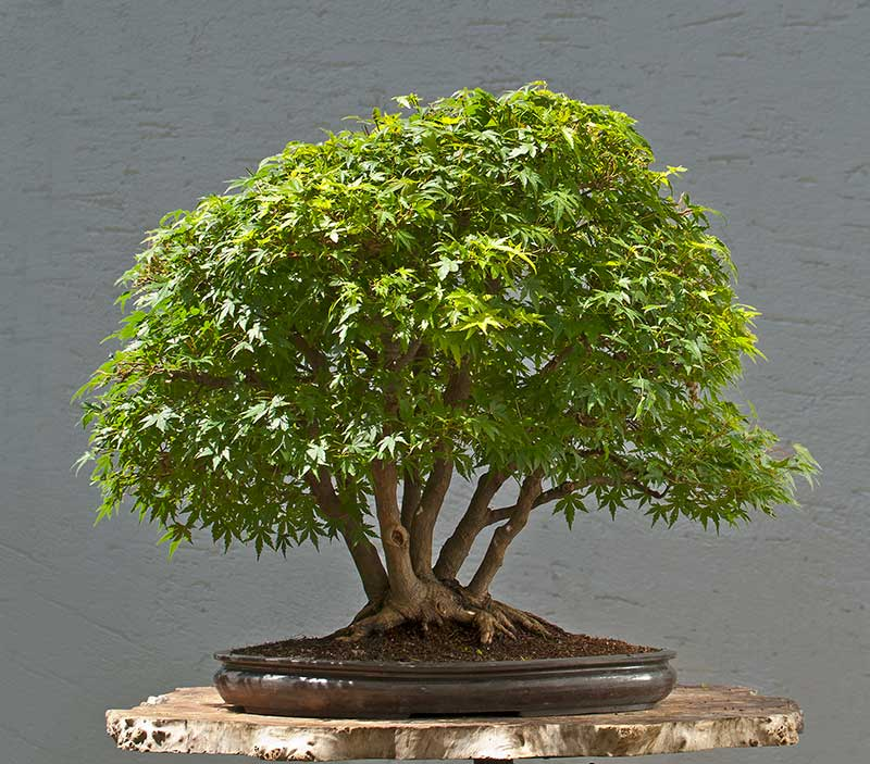 Bonsai Photo Of The Day 7/21/2017