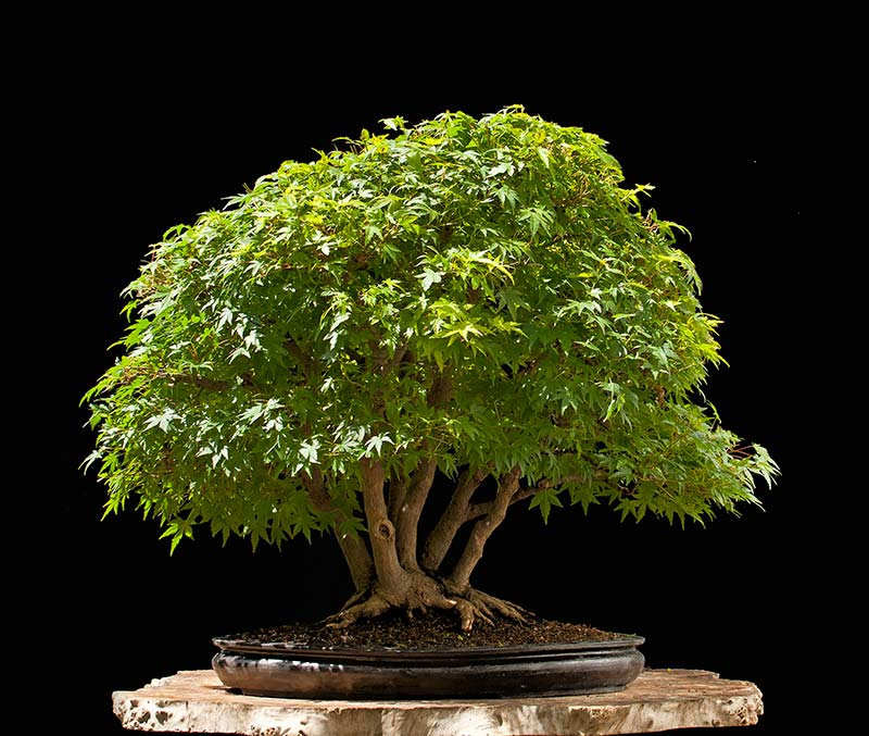 Bonsai Photo Of The Day 7/24/2017