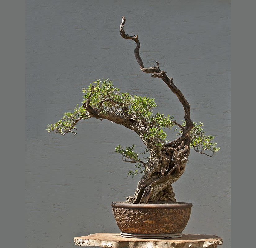 Bonsai Photo Of The Day 7/25/2017