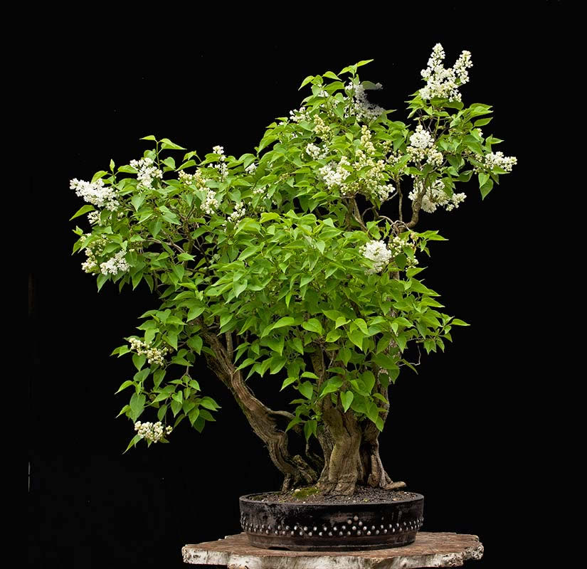 Bonsai Photo Of The Day 7/26/2017