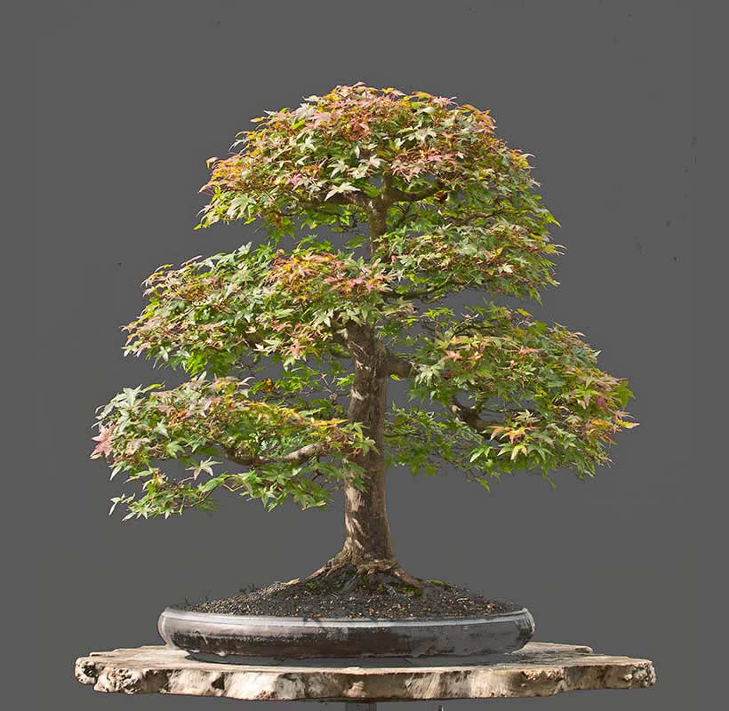 Bonsai Photo Of The Day 7/28/2017