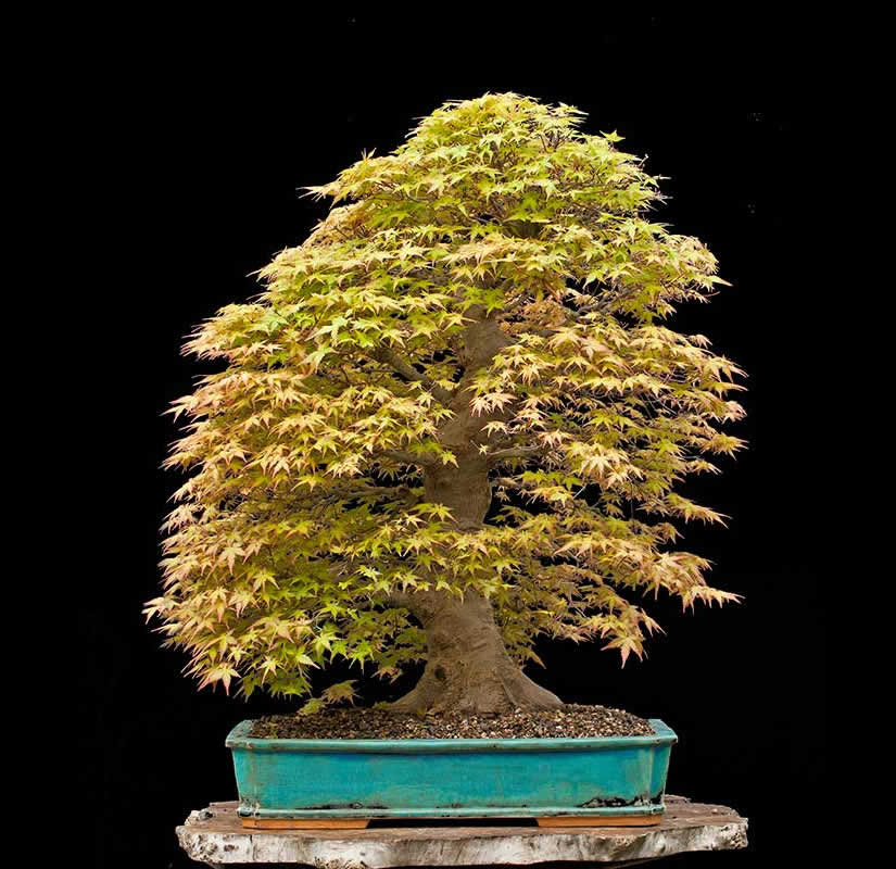 Bonsai Photo Of The Day 7/3/2017