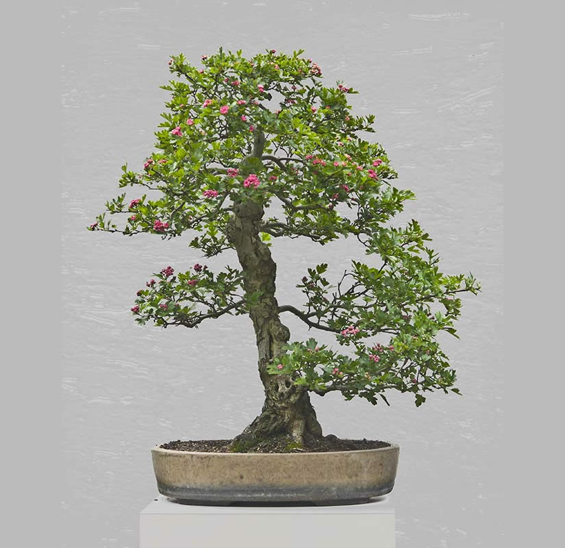 Bonsai Photo Of The Day 7/6/2017