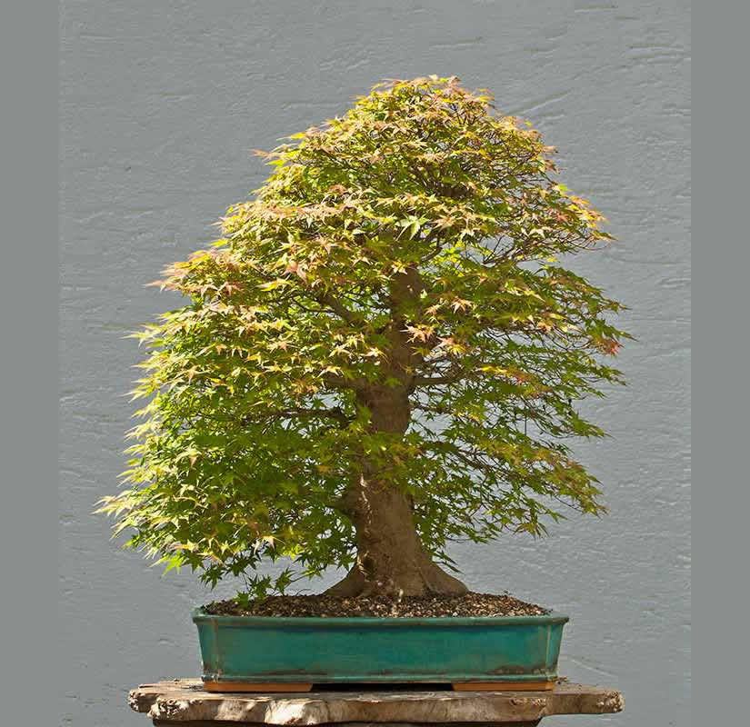 Bonsai Photo Of The Day 7/7/2017