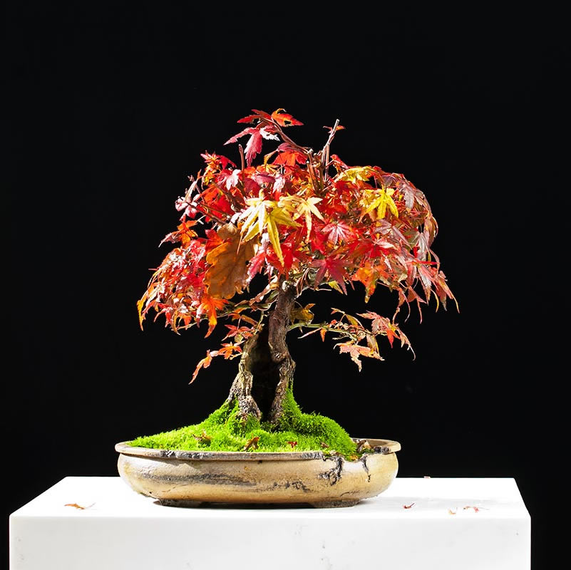Bonsai Photo Of The Day 8/10/2017