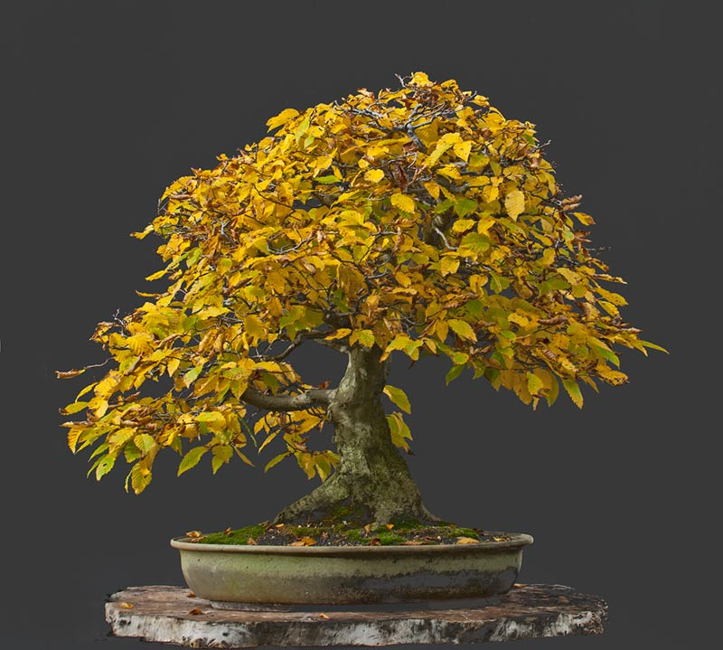 Bonsai Photo Of The Day 8/14/2017