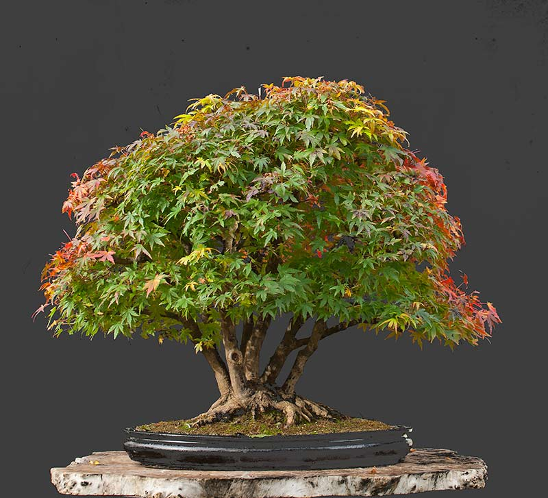 Bonsai Photo Of The Day 8/15/2017