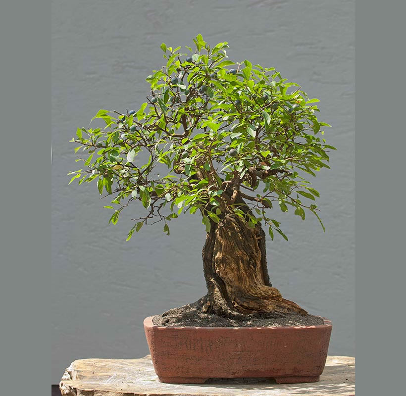 Bonsai Photo Of The Day 8/2/2017