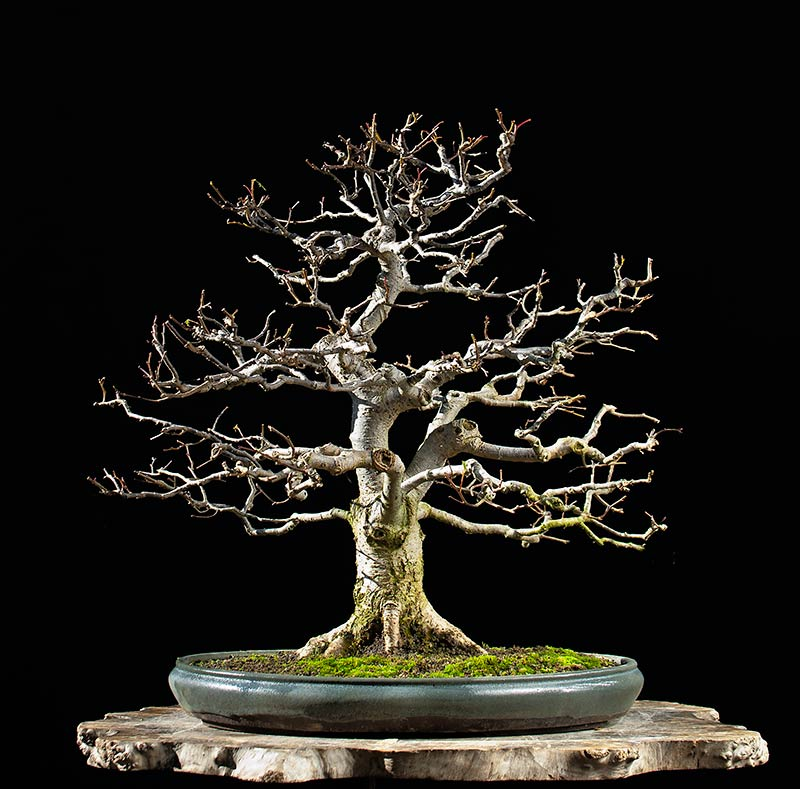 Bonsai Photo Of The Day 8/21/2017