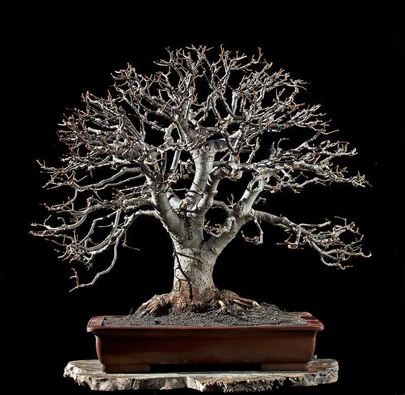Bonsai Photo Of The Day 8/22/2017