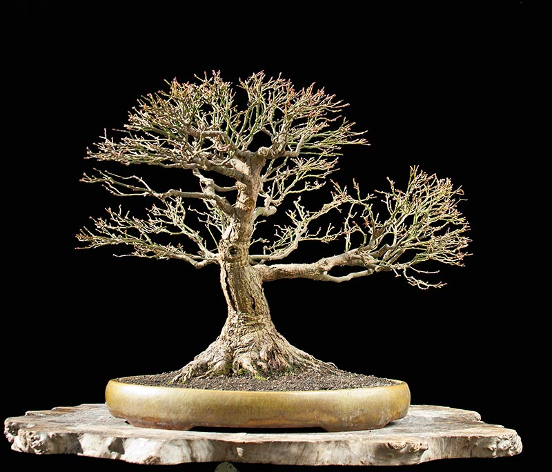 Bonsai Photo Of The Day 8/25/2017