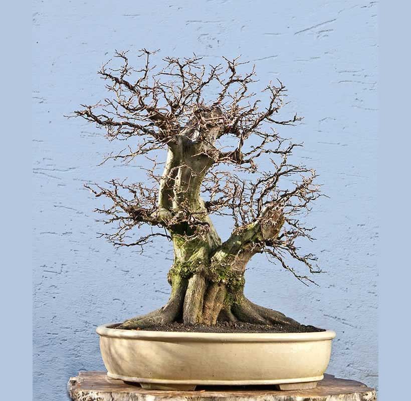 Bonsai Photo Of The Day 8/28/2017