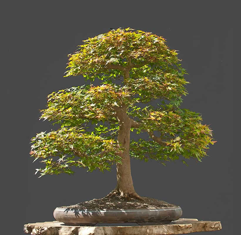Bonsai Photo Of The Day 8/3/2017