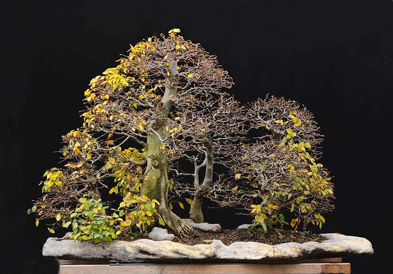 Bonsai Photo Of The Day 8/30/2017