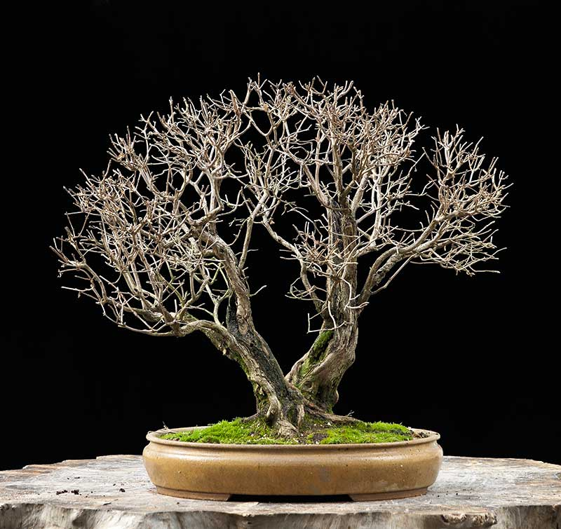 Bonsai Photo Of The Day 8/31/2017