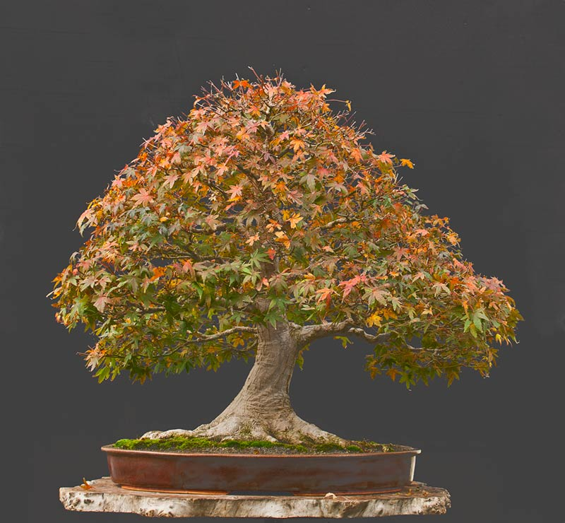 Bonsai Photo Of The Day 8/8/2017